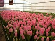 продам цветы тюльпаны к 8 марта.
