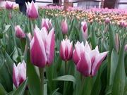 Продаем Тюльпаны к 8 Марта