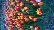 Тюльпаны оптом пинск 1
