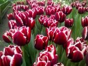 Тюльпаны к 14 февраля и 8 марта